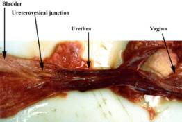 CLINICAL GROSS ANATOMY OF THE